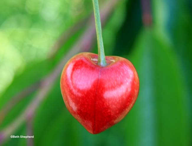 heart-shaped cherry