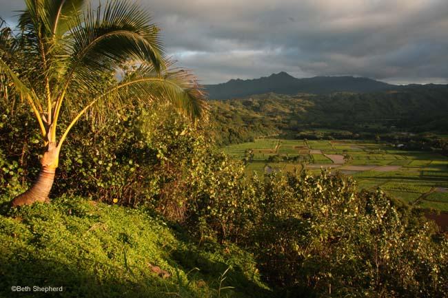 Hanalei valley and taro fields Kauai