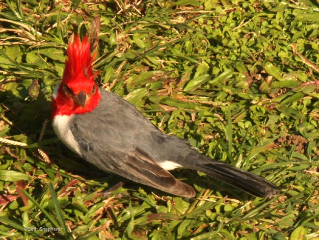 Kauai Red-creste Cardinal