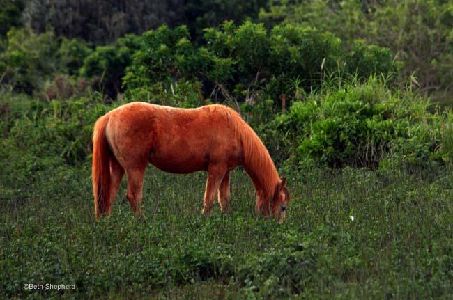 Kilauea Kauai red horse