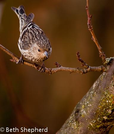 Pine Siskin on a branch