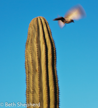 Bird flying off cactus
