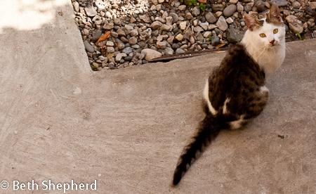 Yerevan backyard cat, Armenia