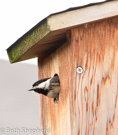 Chickadee emerges