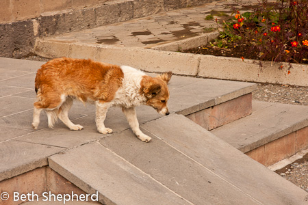 Greeter dog, Gyumri, Armenia