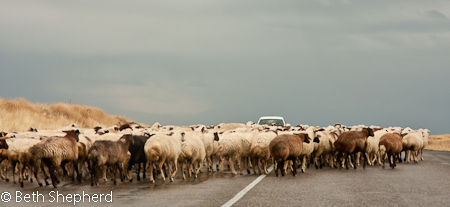 Sheep on the road to Gyumri