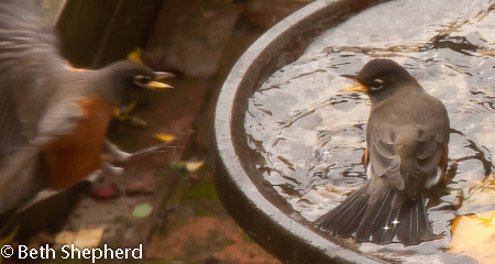 Squabble at the birdbath