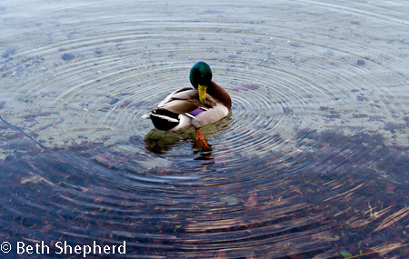 Duck in a circle of water