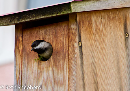 Chickadee poking his head out of the nest