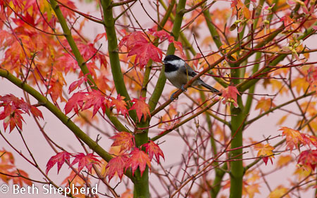 Chickadee in vine maple