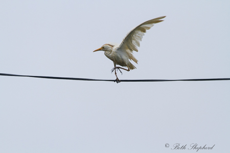 White crane on a phone wire