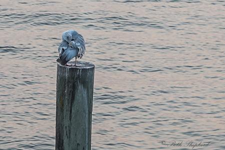 Seagull preening