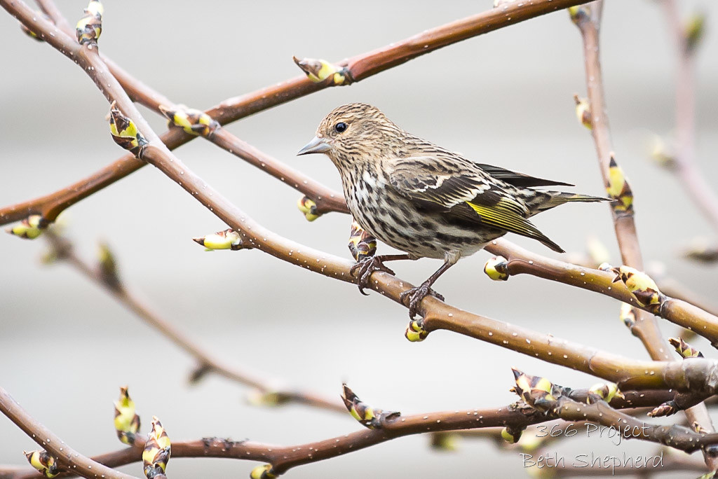 Pine Siskin and budding branches