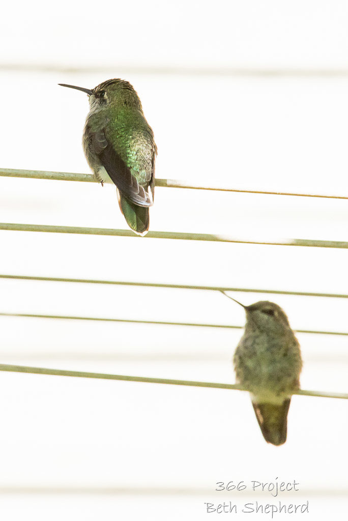 Young Anna's hummingbirds