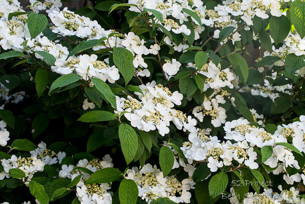 Viburnum Plicatum in April