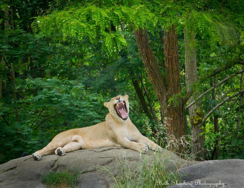 Woodland park zoo lion