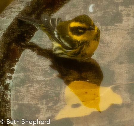 Townsend's Warbler in birdbath