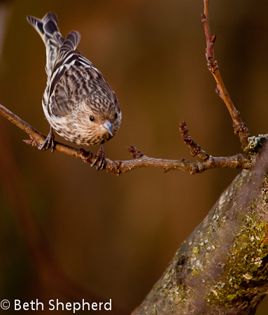 Pine Siskin on a branch