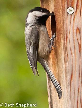 Chickadee passing in seed