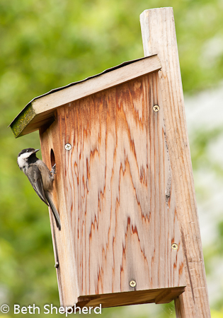 Chickadee renter
