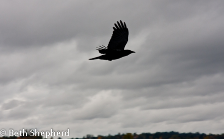 Crow flying at Washington Park Arboretum