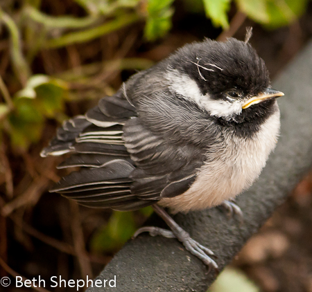 Chickadee fledgling side view