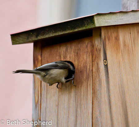 Chickadee heading into the birdhouse