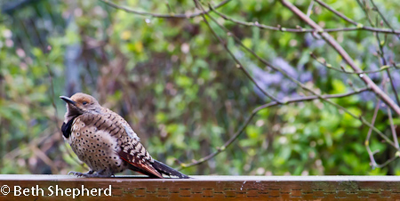 Molting Flicker
