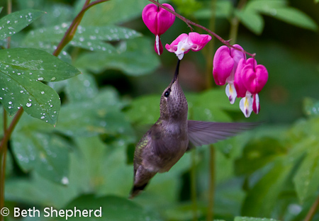 Hummer and bleeding heart