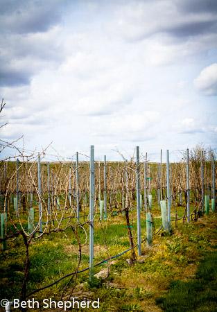 Walla Walla grapevines