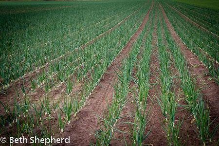 Walla Walla rows of onions