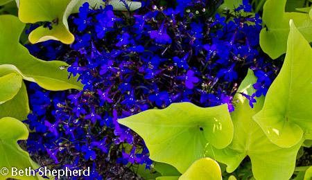 Volunteer Park Blue flowers and green leaves