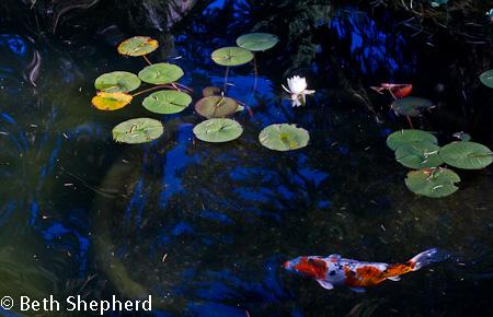 Volunteer Park carp in lily pads