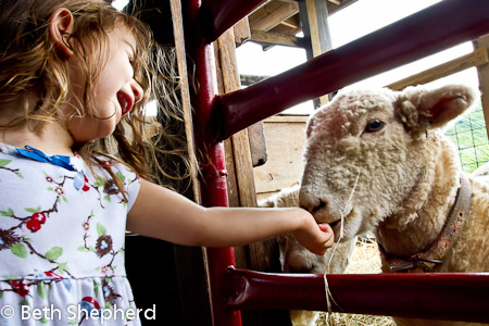 Feeding sheep at Soergel's Orchards