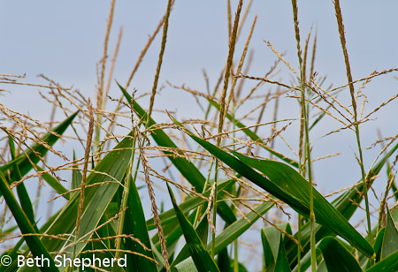 Lancaster corn
