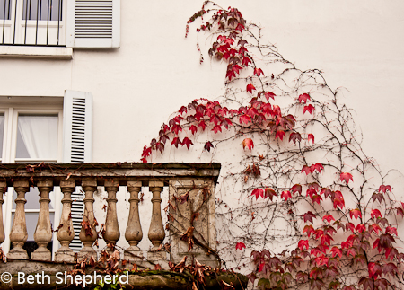 Red vine on wall in Paris