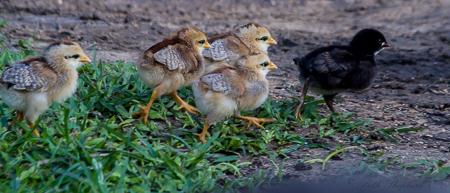 Baby chicks on Kauai