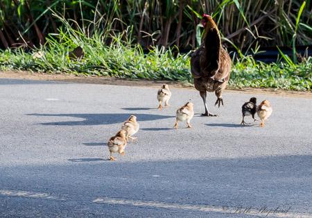 Hen and chicks crossing road on Kauai
