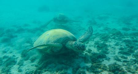 Honu turtle on Kauai