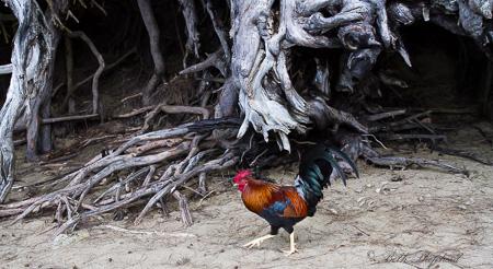 Rooster at Ke'e Beach on Kauai