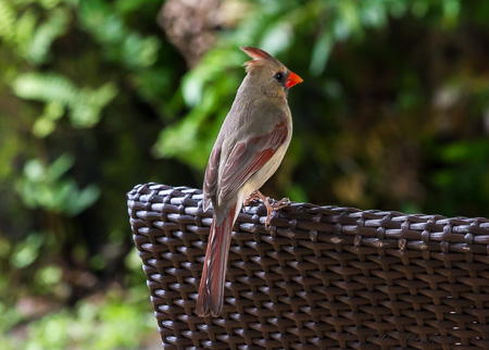 Female red-crested cardinal
