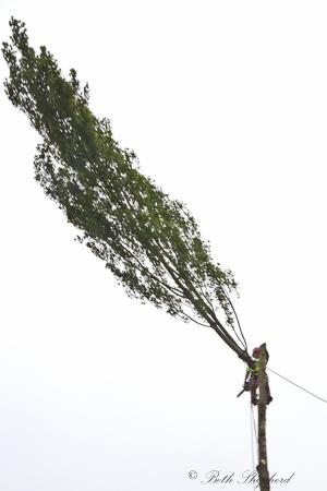 Poplar coming down