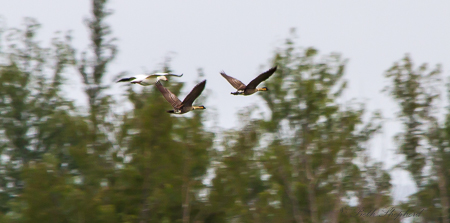Snow Goose and Two Nene