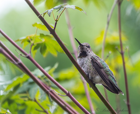 Hummingbird on vine maple