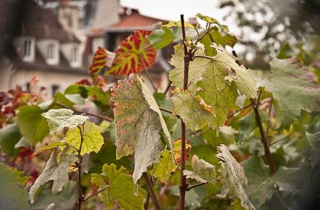 Paris Clos Montmartre vineyard vines