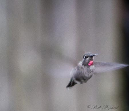Hummingbird red cravat