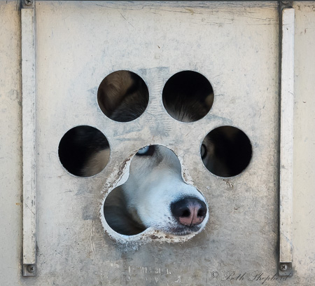Sled dog nose