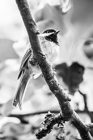 Chickadee on branch