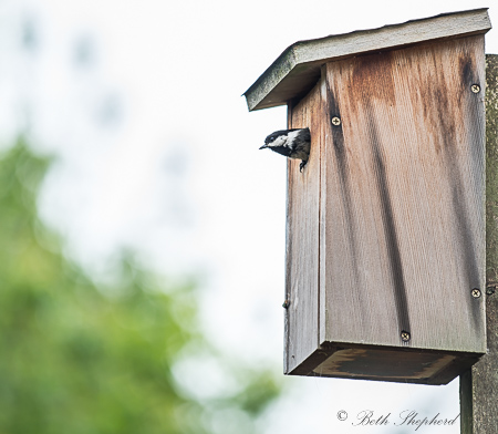 Chickadee coming out of birdhouse