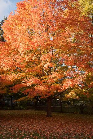 Orange maple leaf tree